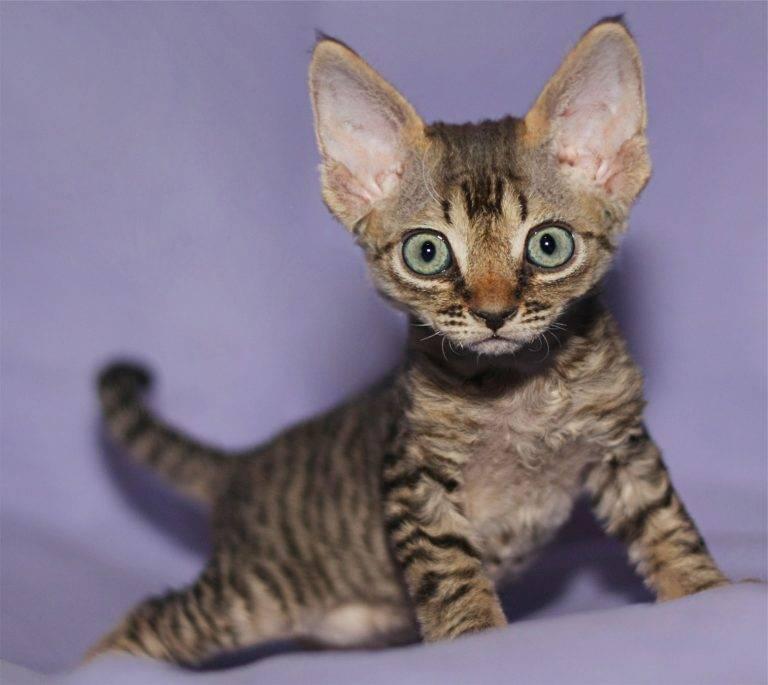 Кошки на которых нет аллергии • аллергия и аллергические реакции
