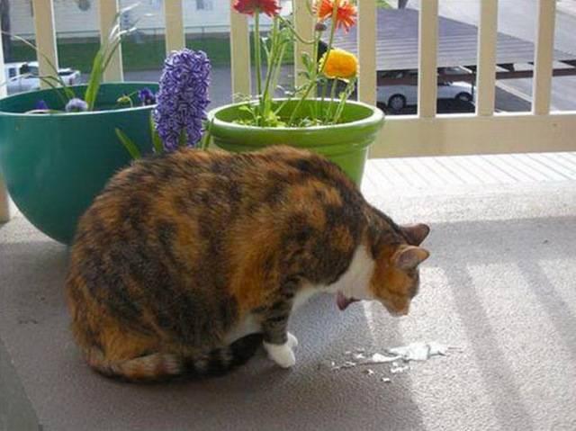 Рвота у кошки: причины, первая помощь, лечение и профилактика