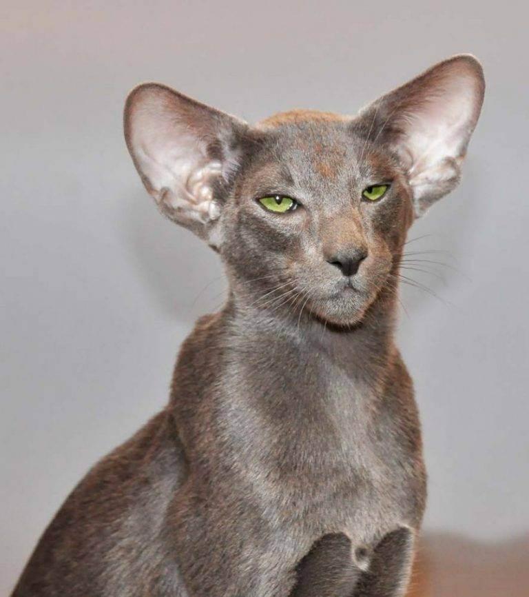 Кошки с большими ушами: обзор пород