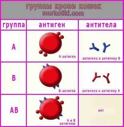 Группа крови у кошек