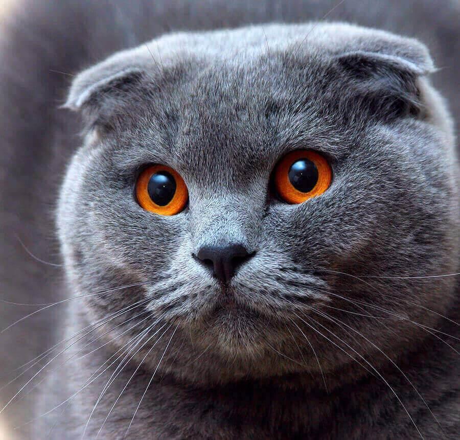 Подробная таблица веса шотландского котенка по месяцам