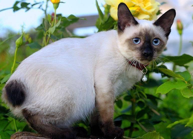 Черный сиамский кот