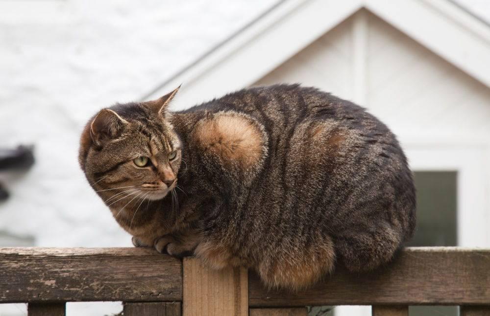 У кошки раздулись бока: причины и лечение