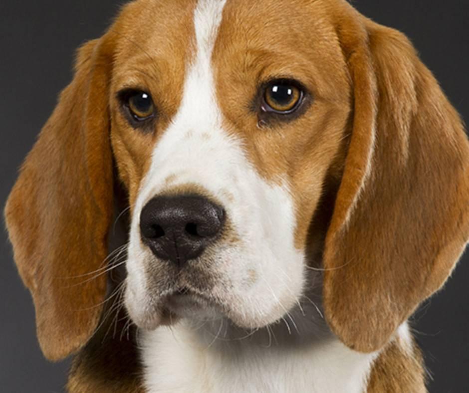 Американский фоксхаунд: описание породы, фото, характер, уход | все о собаках