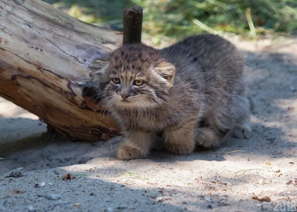 Кот манул в домашних условиях - можно ли держать дома - kotiko.ru