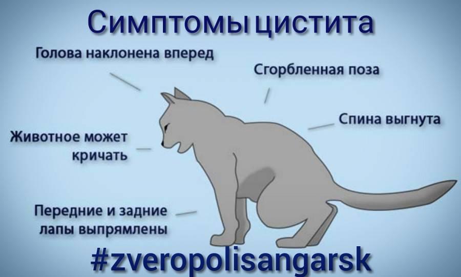 Цистит у кошки: лечение