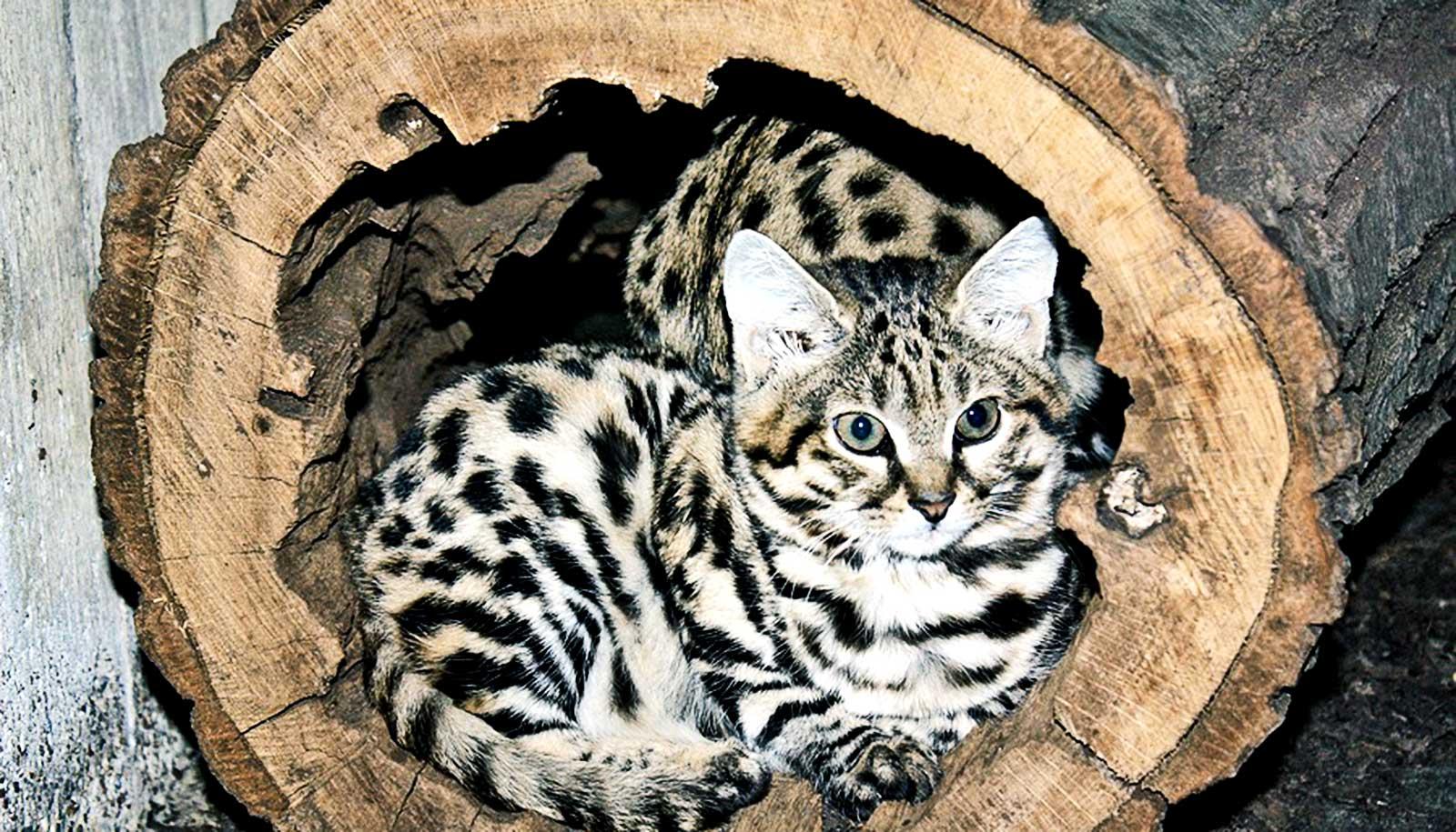 Самые опасные коты в мире – описание 9 пород кошачьих