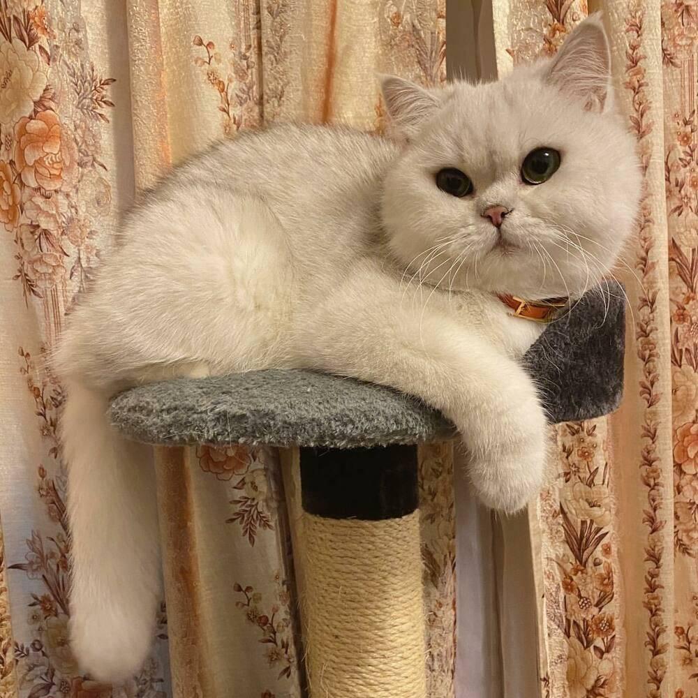 Кошка серебристая шиншилла: описание и правила содержания