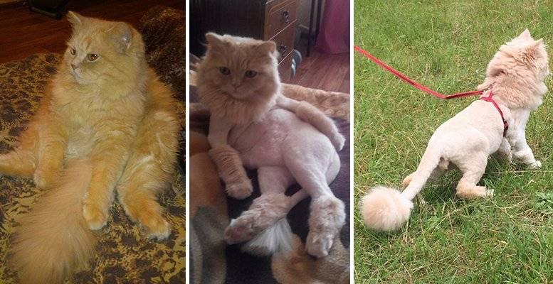 Можно ли коту и кошке стричь усы   подстричь брови