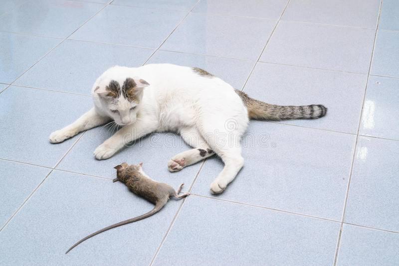 Кошки-крысоловы (24 фото): описание пород котов, которые лучше ловят мышей и крыс