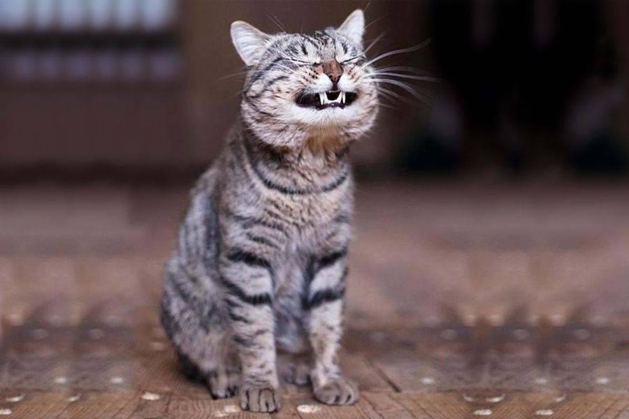 Кашель у кошек после еды причины