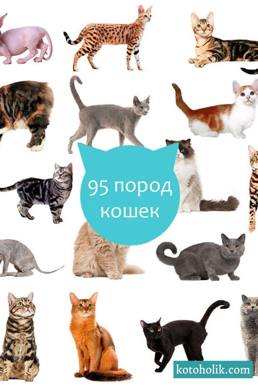 Самые длинношерстные породы кошек – список, описание, фото и видео