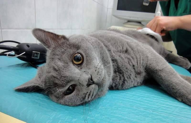 Как кормить кастрированного кота — советы по выбору рациона питания для стерилизованного кота в домашних условиях (90 фото)