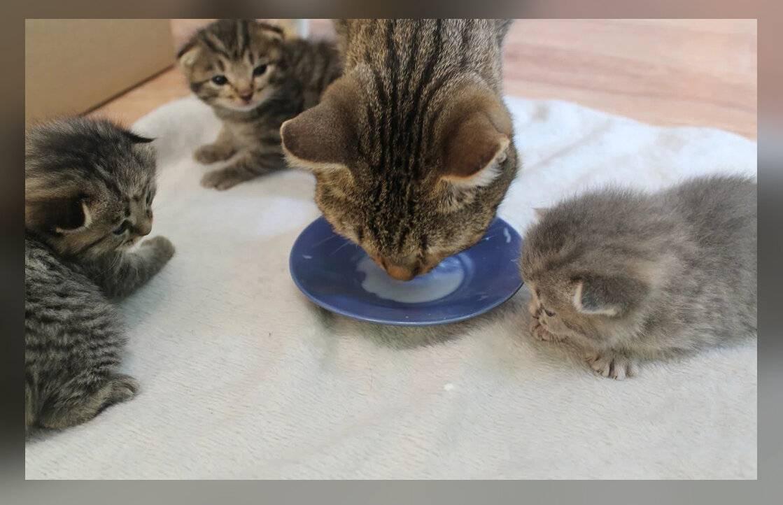 Когда котята начинают есть самостоятельно, как научить их кушать самим