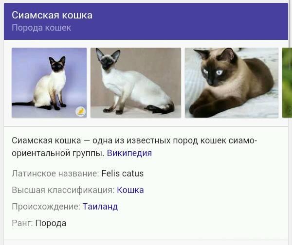 Сиамская и тайская кошка отличия породы