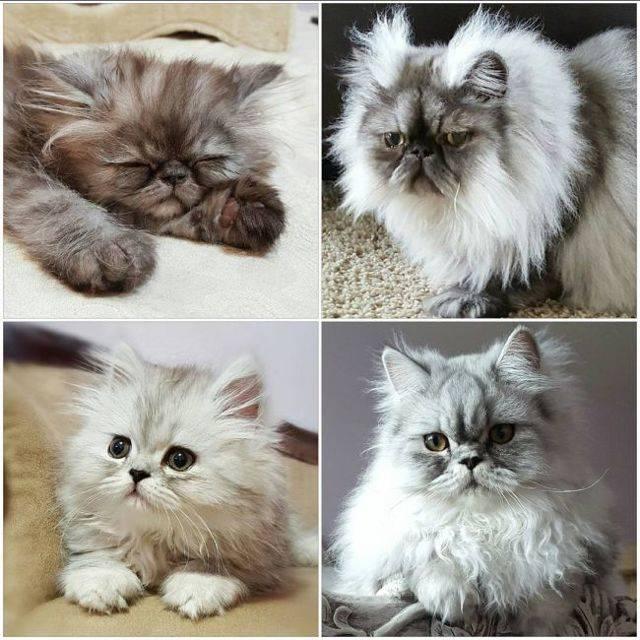 Персидская кошка – флегматичный аристократ