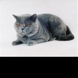 Британская кошка – красотка из рекламы «вискас»