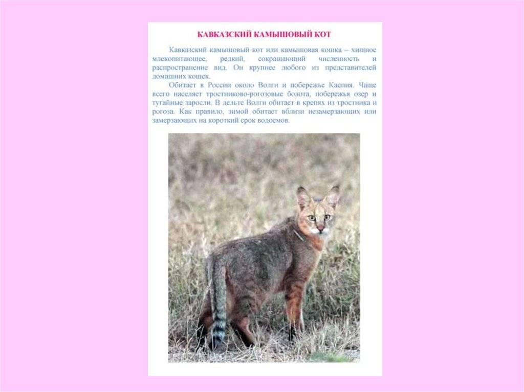 Чауси (домашний камышовый кот)