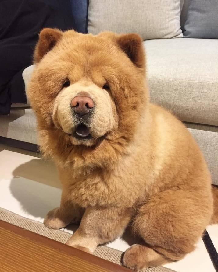 Огромная собака как медведь. какие есть породы собак, похожих на медвежонка. рассмотрим несколько подробнее перечисленных собак