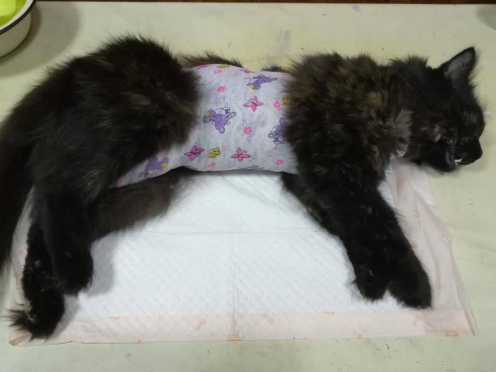 Поведение кошки после стерилизации: в первые дни, неделю, месяц
