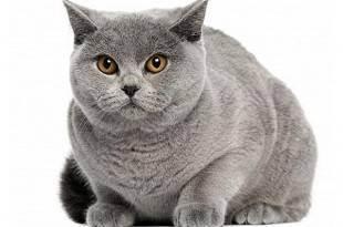 Чем кормить британскую вислоухую кошку и кота британца: уход