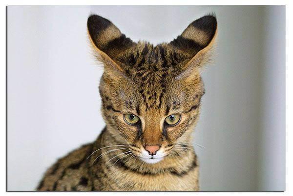 Саванна порода кошек | описание характера, фото и отзывы, питомники и цены