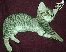 Липома у кошки