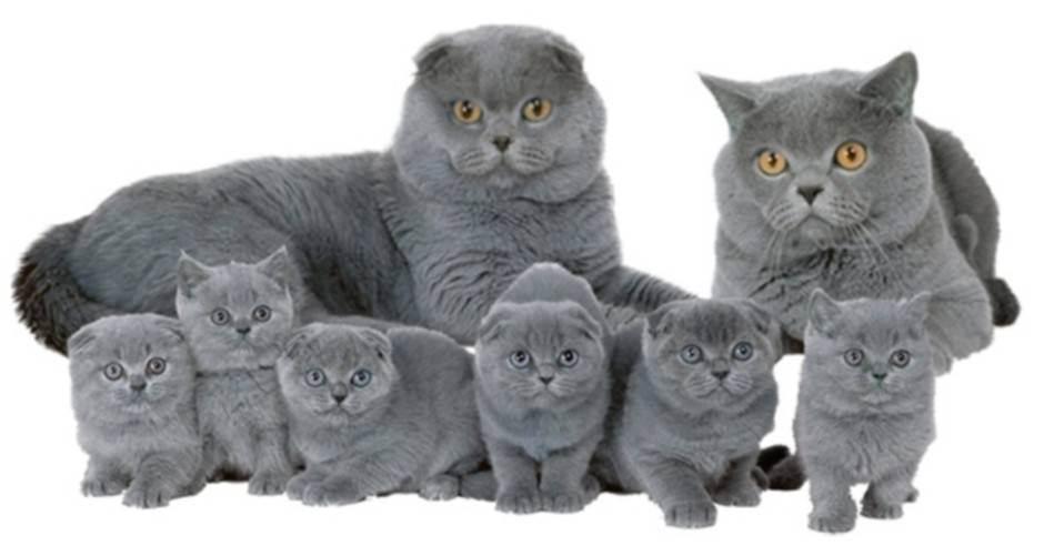 Вязка кошки первый раз: для тех, кто не в теме