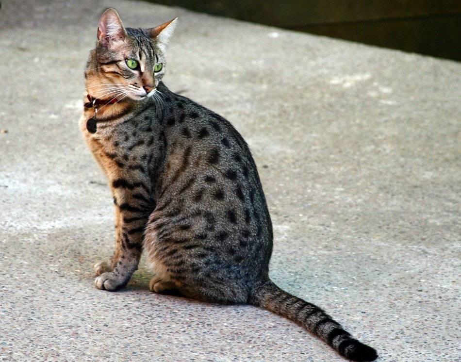 Египетская мау (фото): настоящая кошачья экзотика - kot-pes
