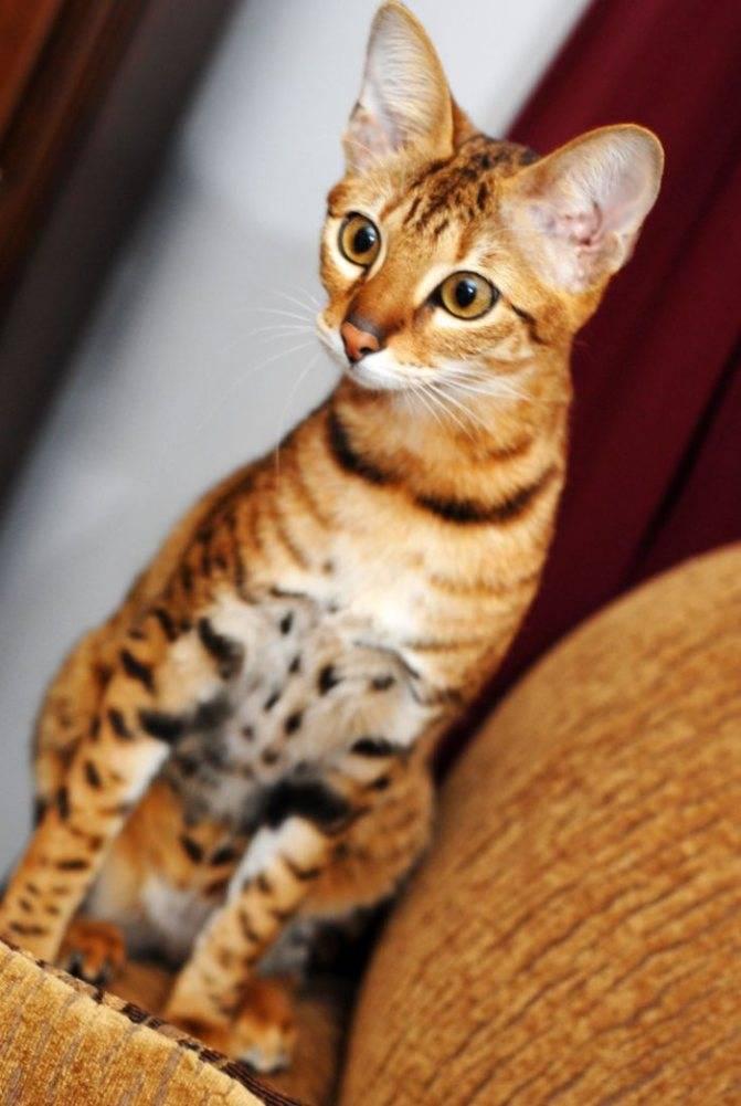 Описание и характер кошек породы серенгети, особенности ухода за ними