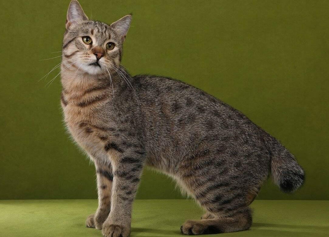 Азиатская табби: описание короткошерстной породы кошек с фото, особенности содержания