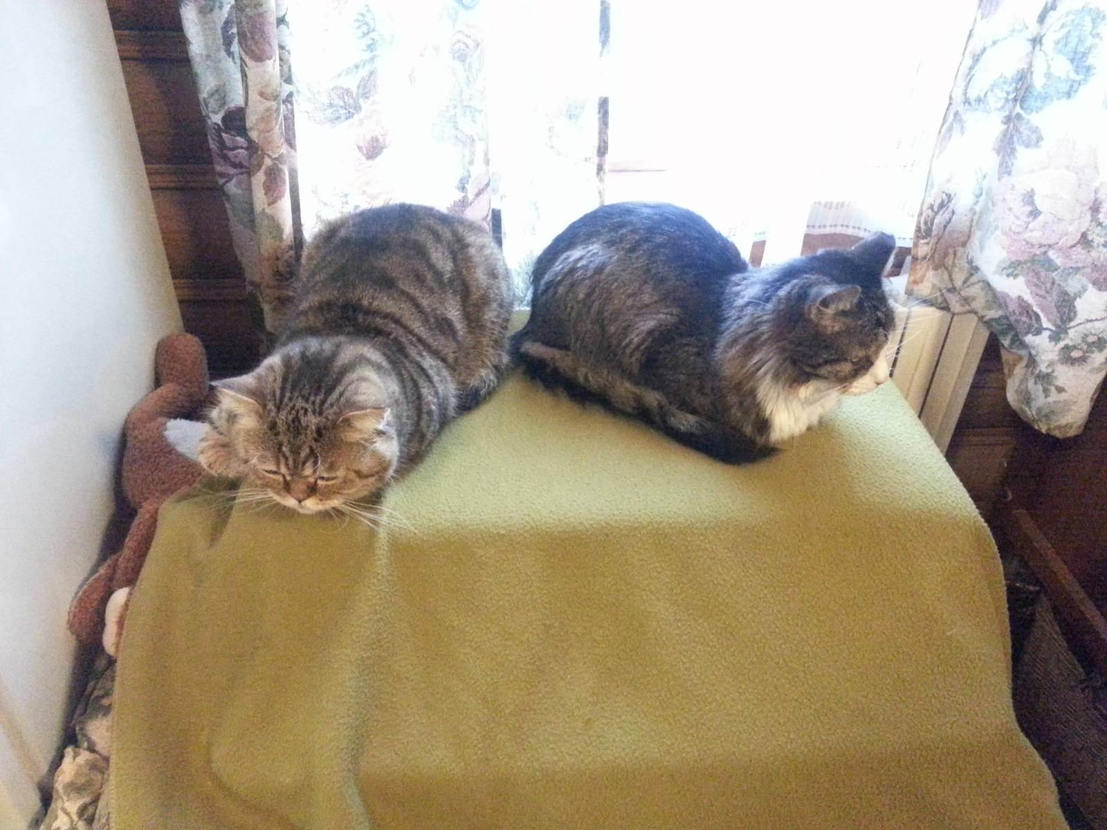 Британская кошка (кот): характер, поведение, повадки