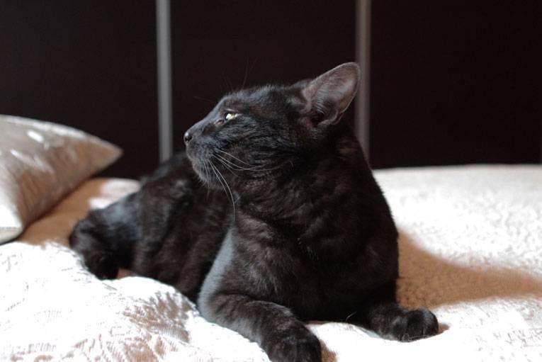 Черные кошки – пушистые и гладкошерстные, большие и маленькие – с фотографиями и названиями пород