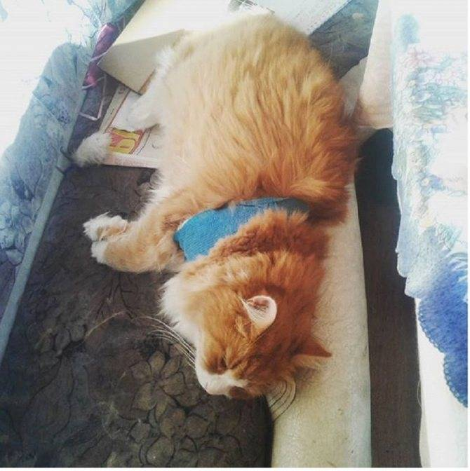 Тяжелое дыхание у кошки: симптомы, первая помощь, лечение
