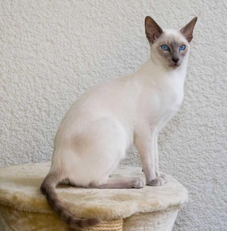 Фото белой сиамской кошки