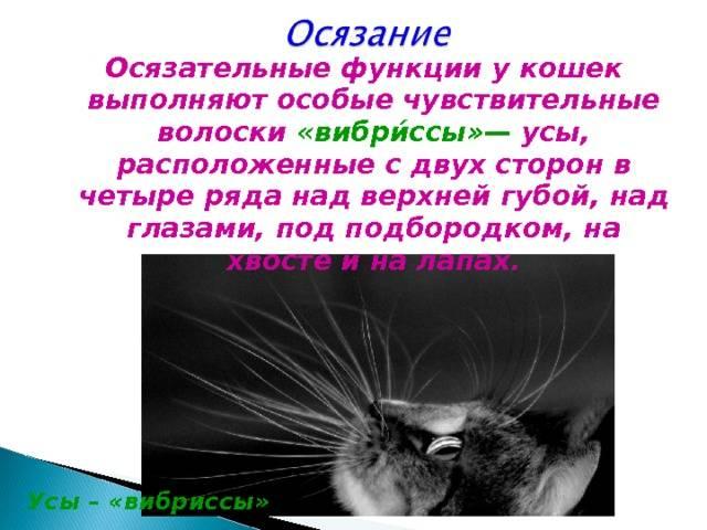 Почему у котенка ломаются усы и что с этим делать: причина явления и способы борьбы