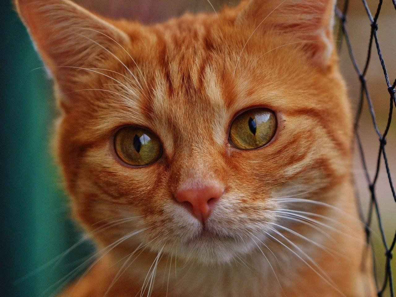 Рыжие коты в доме – что они несут, к чему прибиваются: приметы, поверья и суеверия