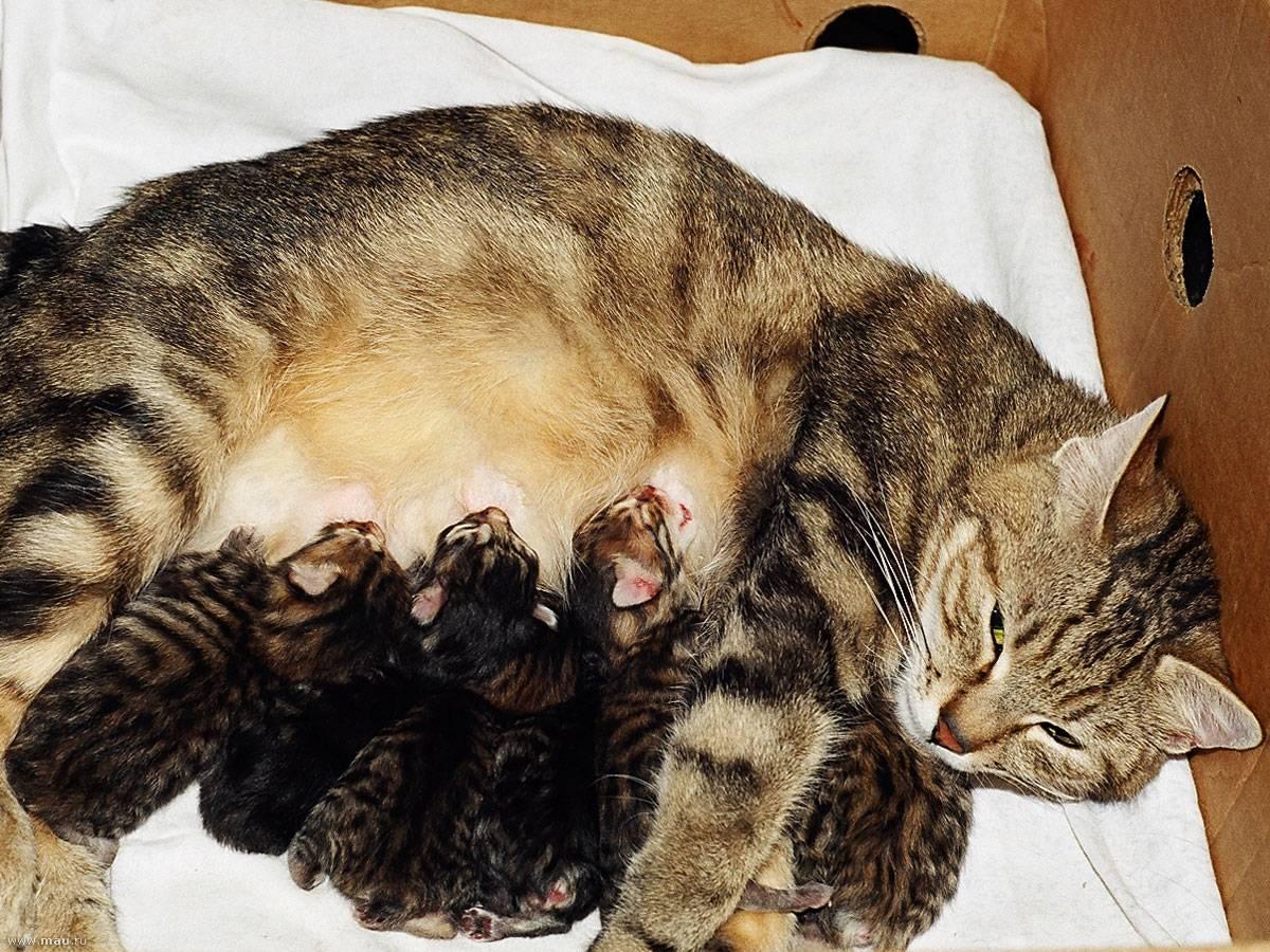 У кошки нет молока после родов: причины нарушения и стимуляция лактации, чем можно кормить котят