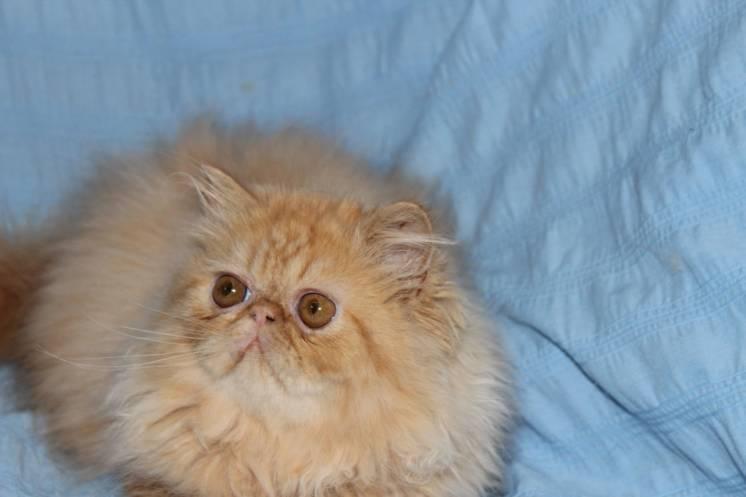 Сколько живут кастрированные персидские коты — о животных на чистоту