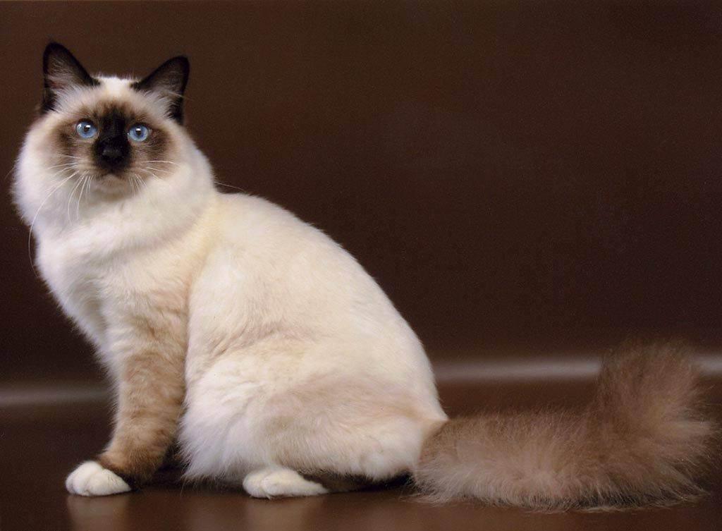 Бирманская кошка: характер кота и описание породы, и кормление