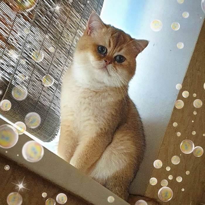 Сколько стоит британский котенок в беларуси?