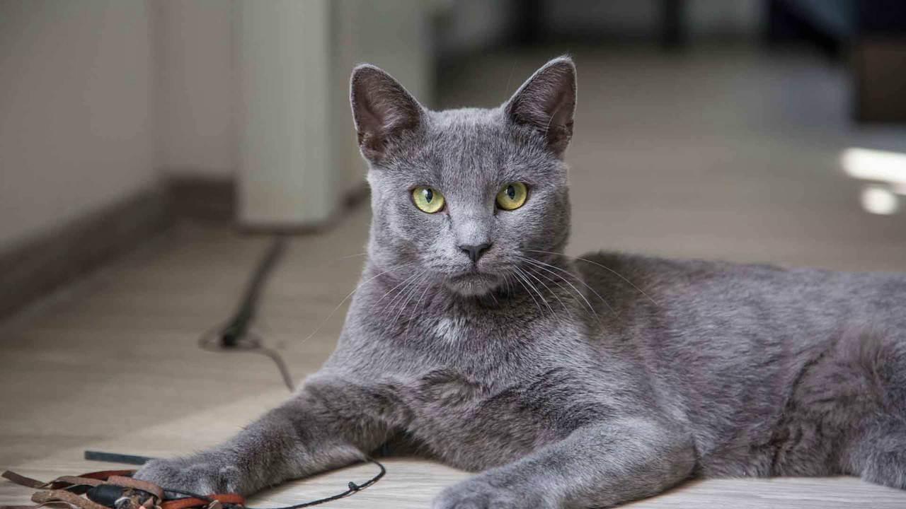 Беременность и роды британской кошки