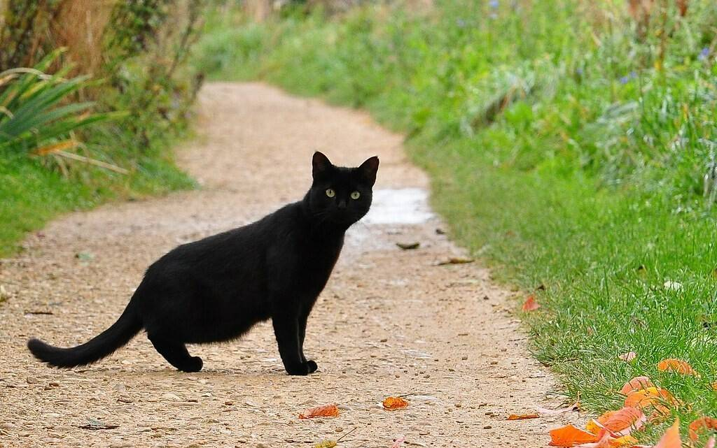 Приметы о чёрных котах в доме – хорошо или плохо держать у себя такого питомца