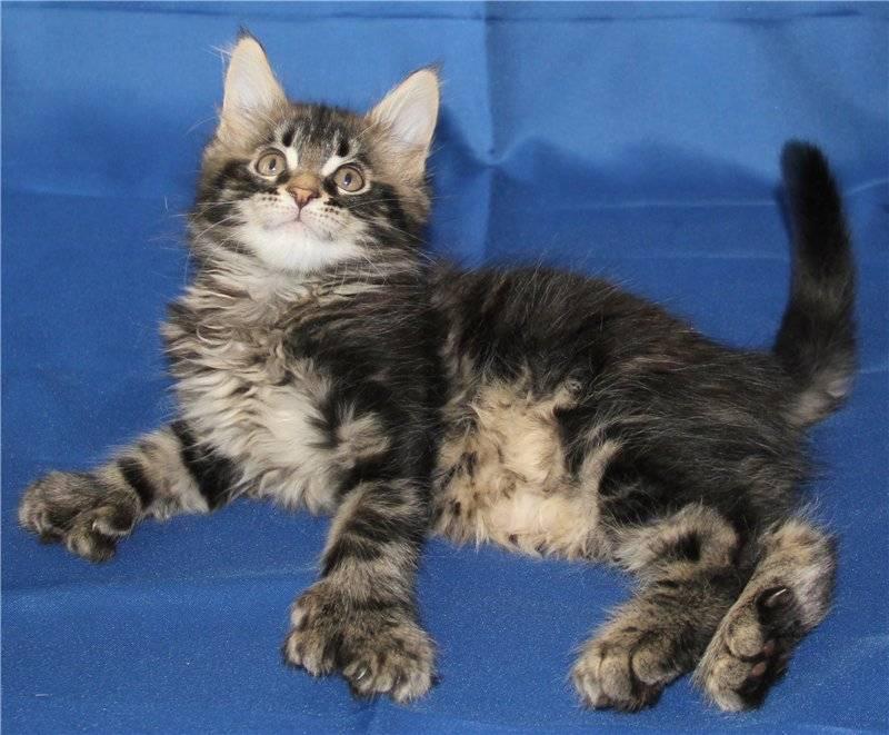 Полидактильная кошка что это значит, полидакт