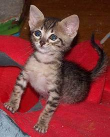 Отек гортани у кошки: причины, симптомы и лечение