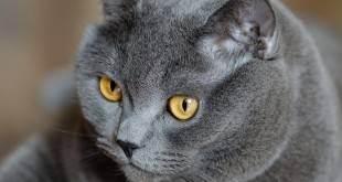 Британец гноятся глаза. слезятся глаза у британской кошки: что делать? закупорка слезных канальцев