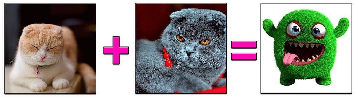 Вязка шотландских кошек беременность и роды