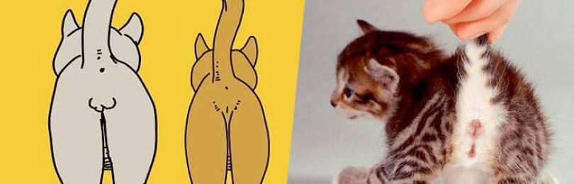 Как определить пол котёнка: используем анатомические и другие особенности, чтобы отличить кота от кошки