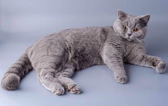 Британская длинношёрстная кошка и котёнок — стандарты и содержание