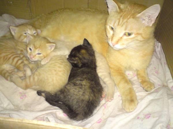 Когда котенка можно забирать от кошки? в каком возрасте правильно забирать котёнка от кошки? в каком возрасте отдают котят от кошки.